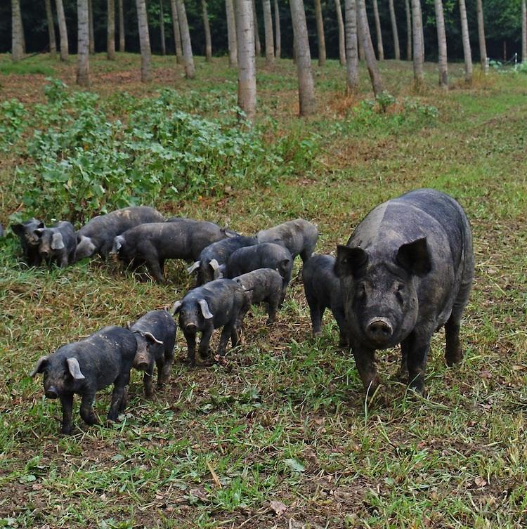 Culatello只採用黑豬後腿肉製作,產量稀少。