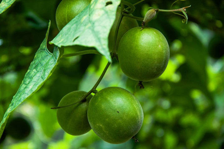 Monk fruit is hailed in the West as the best natural sweetener