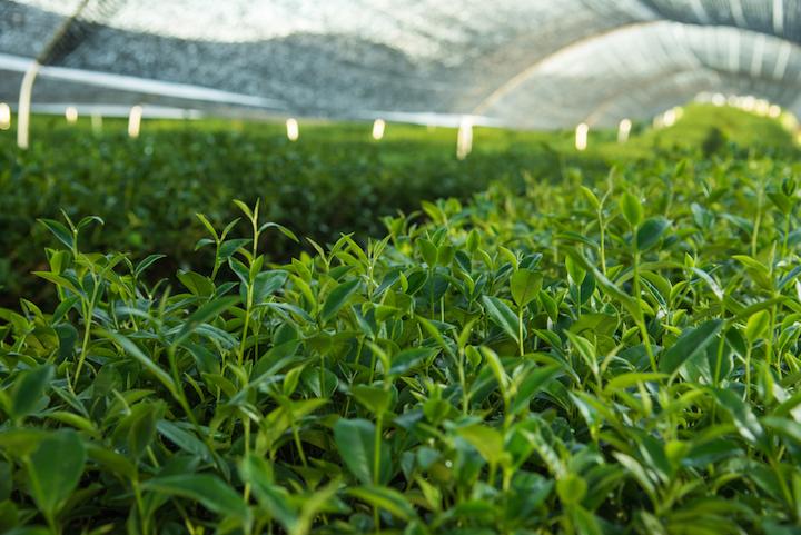 抹茶在茶葉採摘前會以黑布覆蓋,確保茶葉中保留大量葉綠素。