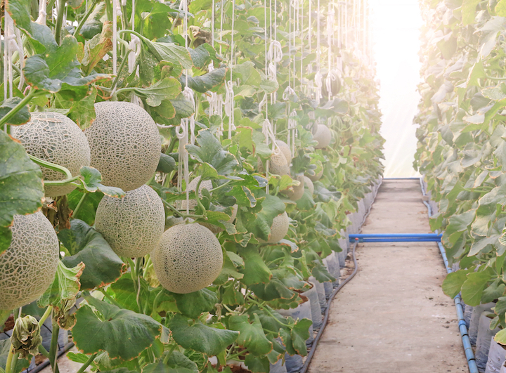 Japanese melons ripe for picking during summer