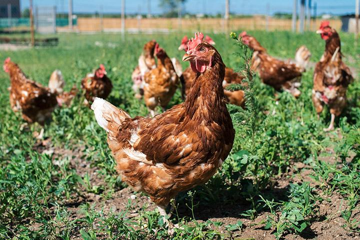 散養農場的雞隻。