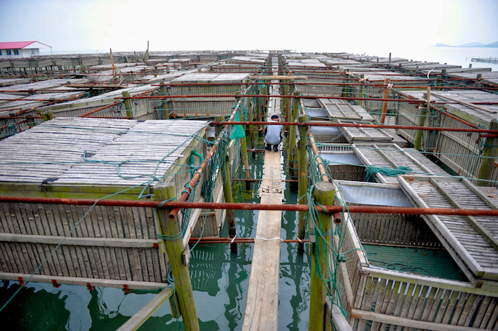 有些養殖場設置了暫養木箱,把雌雄蟹分開,再餵飼螺絲、鮮小魚,增加蟹肉鮮味。(攝影:鄔智明)