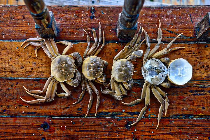 脫殻前後的蟹,大小明顯不同,最右的則是脫殼後的原整蟹殻。(攝影:鄔智明)