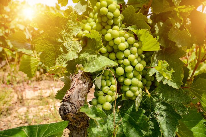 葡萄牙擁有幾百種葡萄品種。