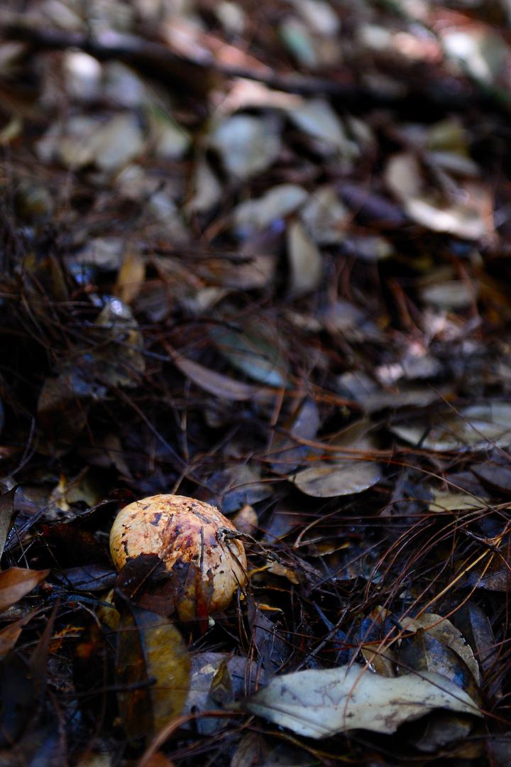 生于湿土上,不易察觉采摘的松茸野菌。 (摄影:邬智明)