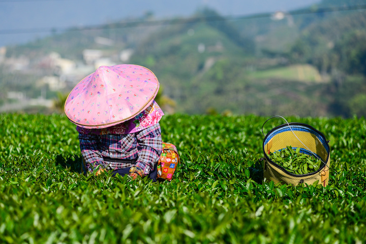 A tea plantation in Chiayi, Taiwan.